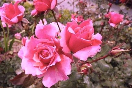 800px-Rosa_'Duet'_2