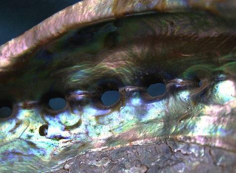 twitter olivander abalone shell