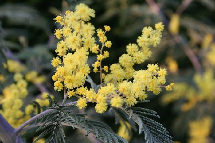 1280px-Acacia_dealbata_Garden_060407w