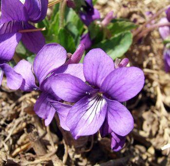 Purpleflower_Violet